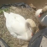 干し草のすで卵をあたためている3才のひなさんと右メスサン。