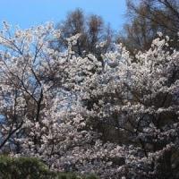 長野県佐久市内山の古刹の境内では、ソメイヨシノの木々がほぼ満開です