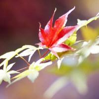 紅葉 (花 4118)