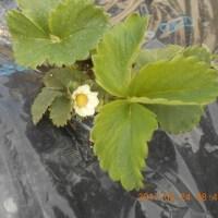 寒い中でも育っています 庭のイチゴ ホウレンソウ