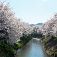 2017吉野瀬川の桜 下太田橋付近