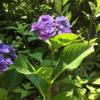 朝の紫陽花キレイ