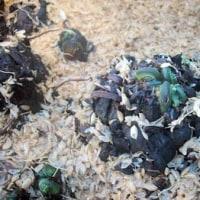 こごみ、たらの芽の促成栽培