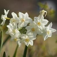 4種類目の水仙の花が咲きました