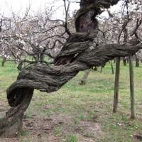梅の木のねじれ