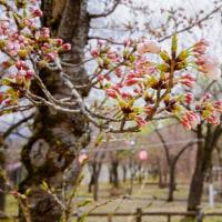 【今日の湯沢】引き続き、湯沢中央公園。第25回花まつり湯沢は来週末29日(土)開催です。