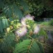 ネムの花と西施という美人のはなし