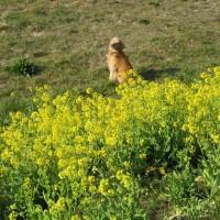 菜畑に 見え隠れする ゴールデン 🎵