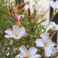 【徒然日記】 ベランダの花 オキザリス
