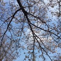 桜を探しに~
