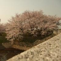 加治川で花見