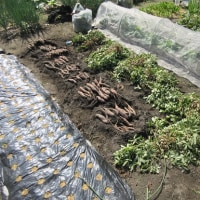 ラッカセイ収穫