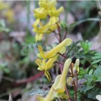 春の野の花~ケマン