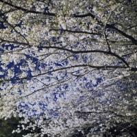 2017.04.12 夜桜2017