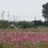 高崎 はにわの里 コスモス2016(その3)と新幹線