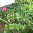 家庭菜園成長記