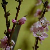 今年も桃の花頂きました。