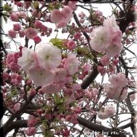 山桜、 八重桜