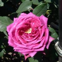 浜寺公園のバラ庭園