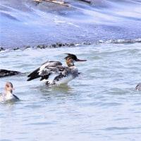 今日の野鳥   イソヒヨドリ・スズガモ・ウミアイサ