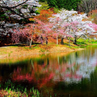 半田山自然公園の水面に映る桜  福島県伊達郡桑折町