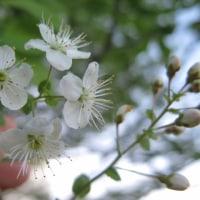 八島のお花見