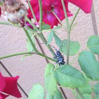 まちで見かけた昆虫 ゴマダラカミキリ