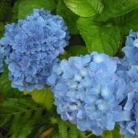 奇麗な青です アジサイの花