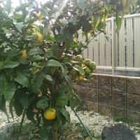 庭ミカン 3