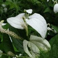 雨上がりのハンゲショウの白い葉。