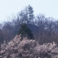 石尊山の桜