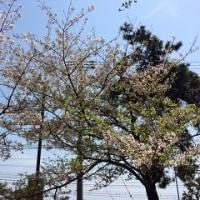 桜と電車2(須磨浦公園)