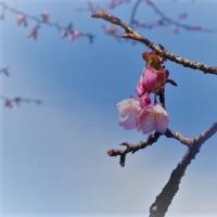 蜂須賀桜開花