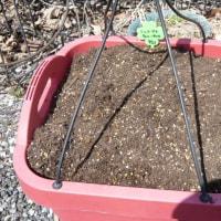 モスの日でミニトマトの種をもらったので種蒔き