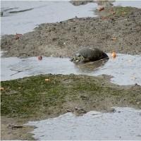 散歩に出たら  亀が琵琶を食べてた