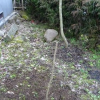 コシアブラの苗木移植