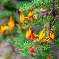 カナリア・アイランド セージ(Canary Island Sage)の花