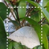 越冬蝶 ♪ 別なウラギンシジミが生きていた ♪
