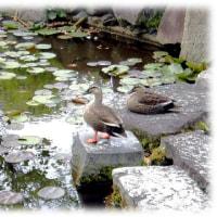 初夏の風景(^^♪のんびりと綺麗な睡蓮の花が咲くのを見守っている「カルガモ」のペアー
