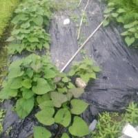 田舎の さつまいも 02 にんじん トマト+枝豆黒ひかり