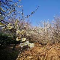 超広角レンズ10ミリで撮った赤塚城址の梅林(2月16日撮影)