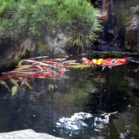 M歯科医院の庭(池の鯉)