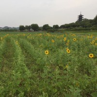 備中国分寺ひまわり開花状況  6月27日
