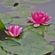 大雨のあと、池に浮く睡蓮の花・・・立山町