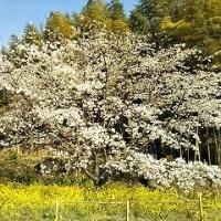 魚見桜(山桜)は今が見頃~日出町~
