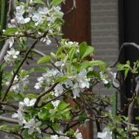 果樹の花(5)~リンゴ 2種