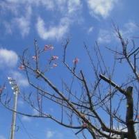 ひっそりと咲く緋寒桜