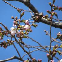 川沿いの桜咲く