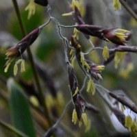 スズタケの開花