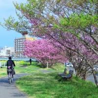 「素敵な通学路」 いわき 新川の桜並木にて撮影!